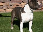 American Staffordshire Terrier [Megapost]