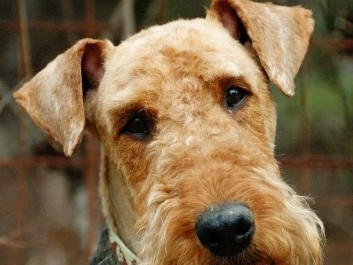 101 dogs perro airedale terrier  Videos Online  Taringa!